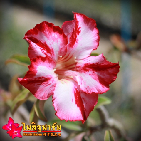 Obesum Mix Color Seeds Price 2 THB