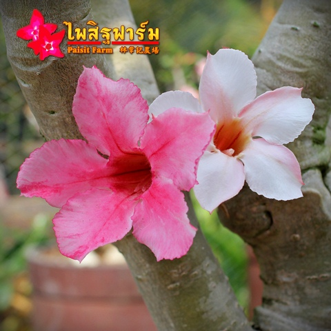 Obesum Pink Color Seeds Price 2 THB