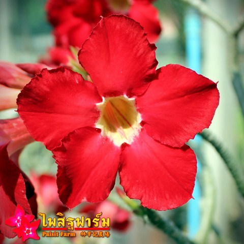 Obesum Red Color Seeds Price 2 THB