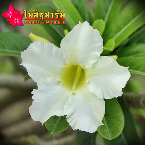 Obesum White Color Seeds Price 2 THB