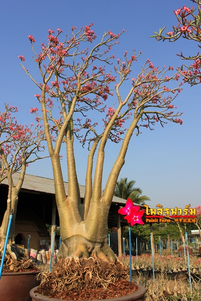 Red branch Adenium Somalense
