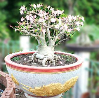Thai Socotranum: Siam Crown (SC)