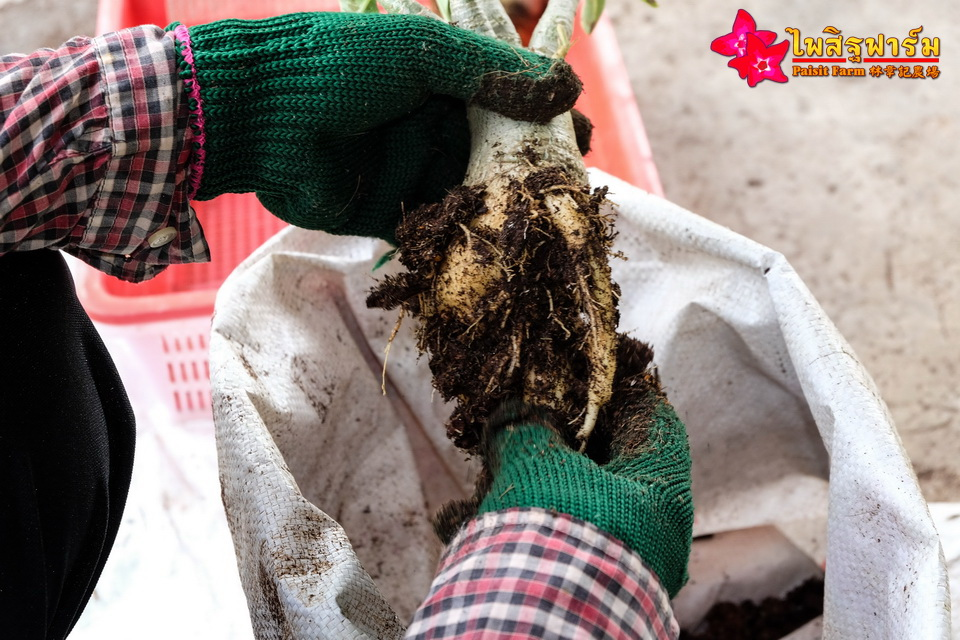 Cleaning & packing - Clean adenium tree root.
