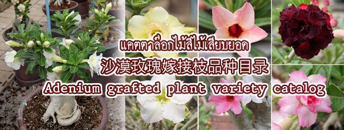 Adenium color price