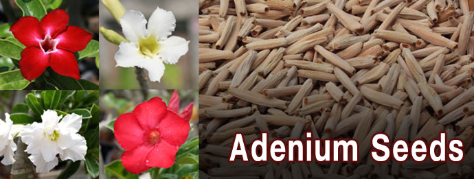 Adenium seeds price