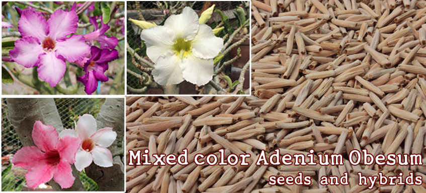 Mixed color Adenium Obesum seeds: Mixed color Adenium Obesum seeds and hybrids.