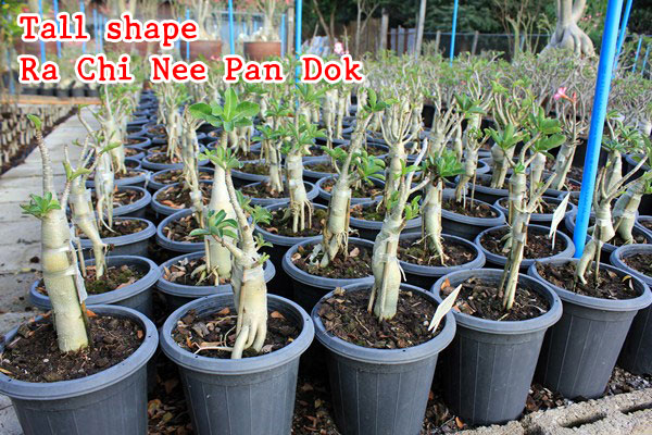 The Adenium grown from seeds – RCN tree shape or tall shape