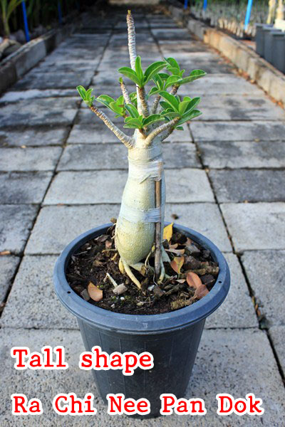 Adenium - Tall shape RCN