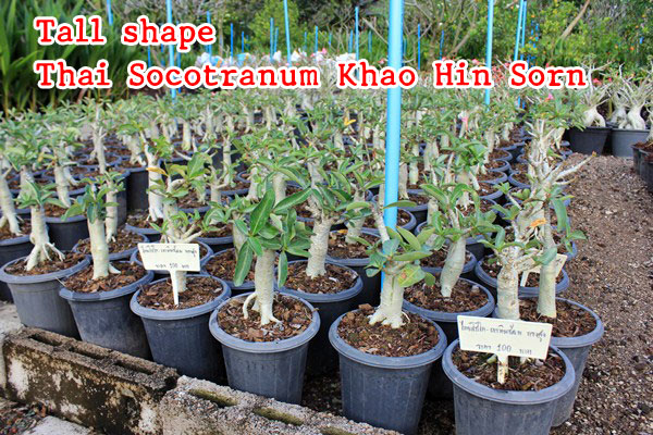 The Adenium grown from seeds – Thai Socotranum KHZ tree shape or tall shape