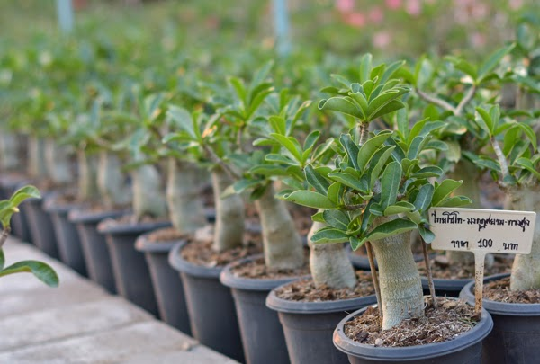Adenium - Tall shape Thai Socotranum Siam Crown