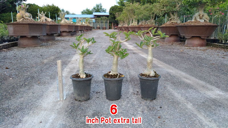 Adenium Thai Socotranum KHZ seedling 6 inch pot.
