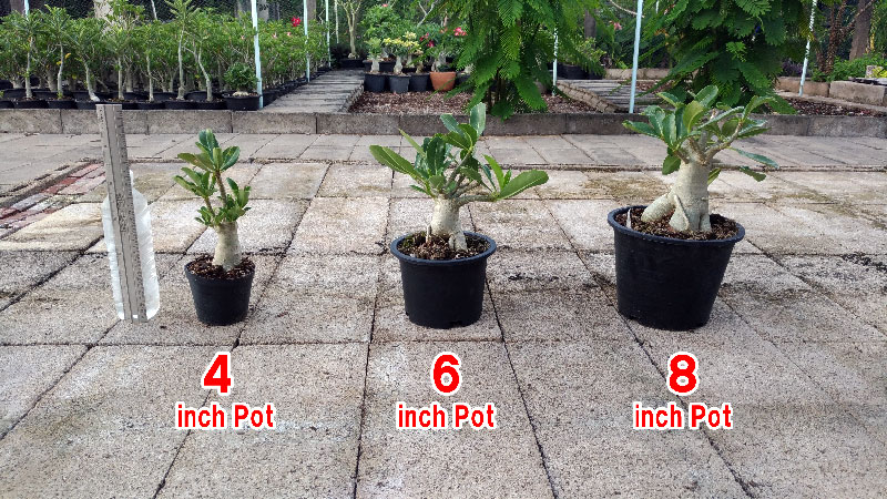 Adenium Plants in pot size 4 to 8 inches.