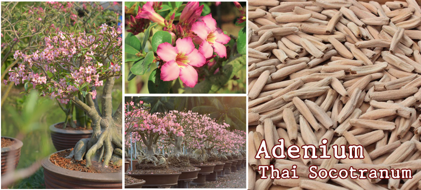 Adenium Thai Socotranum Seeds: Kao Hin Zon (KHZ),Siam Crown (SC) ,Bang Khla (BK), S1, new variety and hybrids.